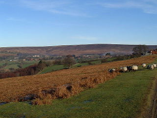 An image of the sheep grazing on the moor near Goathland